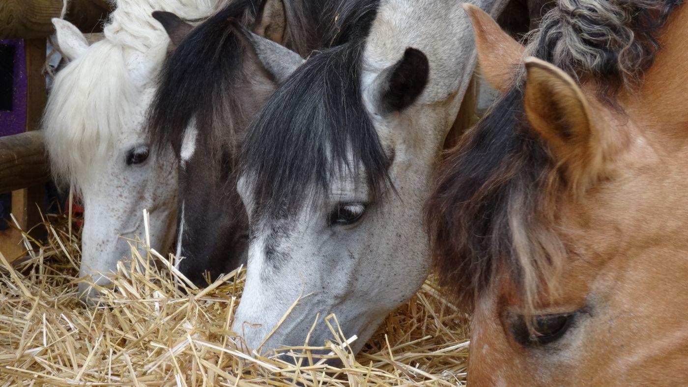 portrait de poneys à Pollionnay